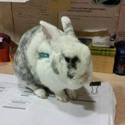 Loris coniglio